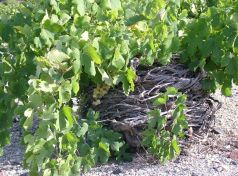 Kouloura_Santorini vineyard