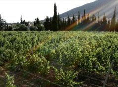 Vineyard_SUNlight_NICE_PHOTO