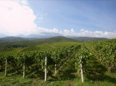 Naoussa vineyards