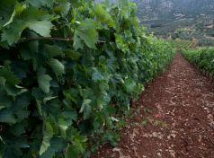 Peloponnese vineyards