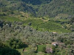 Samos vineyards