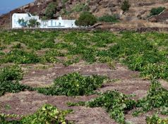 Santorini vineyards