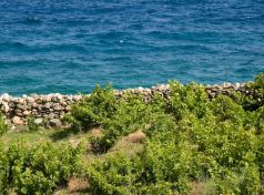 Vineyards by the Sea of Samos island