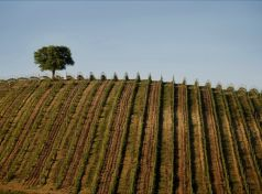 The Vineyards of Greece