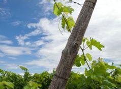 Vineyard wire trellising