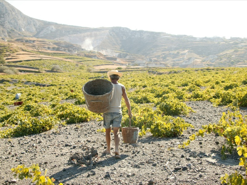 Harvest by hand – Santorini vineyard