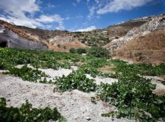 Planted in an ungrafted and one of a kind vineyard, Assyrtiko Santorini...