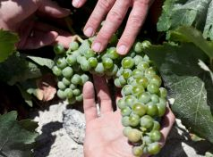 The Assyrtiko Santorini variety is the heart of dry white wines and the sweet Vinsanto wines.
